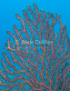 St. Eustatius (Statia) Underwater - A black coral sea fan.  © Rick Collier