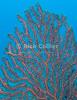 St. Eustatius (Statia) Underwater - A black coral sea fan.  © Rick Collier