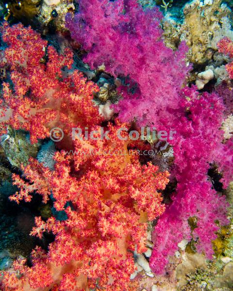 "Red Sea, Egypt -- Beautiful soft corals grow on the reef wall. © Rick Collier / RickCollier.com.<br /> <br /> <br /> <br /> <br /> <br /> Egypt; ""Red Sea""; vacation; travel; destination; underwater; uw; ""u/w""; scuba; ""scuba dive""; ""scuba diving""; dive; diving; coral; reef; ""coral reef""; ""dive site""; ""Ras Muhammad""; ""Ras Mohamed""; ""national park""; ""underwater park""; ""Ras Muhammad National Park""; ""nature reserve""; Yolanda; ""Yolanda reef""; ""soft coral"""