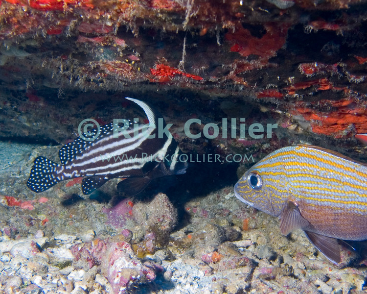 """A spotted drum hides in a crevasse in the reef.  St. Eustatius (Statia), Netherlands Antilles.<br /> <br /> <br /> <br /> <br /> """"St. Eustatius"""" """"Saint Eustatius"""" Statia Netherlands Antilles """"Lesser Antilles"""" Caribbean underwater diving ocean SCUBA dive reef coral fish spotted drum"""