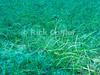 "Sea grass.  St. Eustatius (Statia), Netherlands Antilles.<br /> <br /> <br /> <br /> <br /> ""St. Eustatius"" ""Saint Eustatius"" Statia Netherlands Antilles ""Lesser Antilles"" Caribbean underwater diving ocean SCUBA dive sand bottom seabed grass ""sea grass"" water plants"