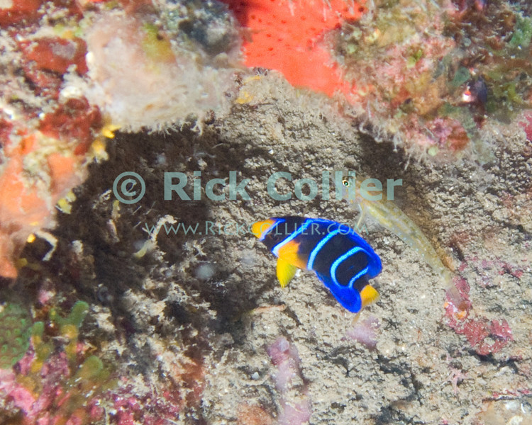St. Eustatius (Statia) Underwater - As I moved in to take a shot of a moray eel (about one foot below me as I took this shot), I was startled by the quick movements of this baby fish (a juvenile queen angelfish).  © Rick Collier