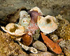 "Diving Bonaire, Netherland Antilles -- A small octopus hides under a mound of shells cast off from its meals.  (Look for the octopus' eye, looking like another shell at upper left of the pile, with its pinkish body and tentacle at center top.)  (Night dive at Kralendijk Pier)   © Rick Collier<br /> <br /> <br /> <br /> <br /> Bonaire; ""Netherlands Antilles""; Caribbean; tropic; tropical; vacation; destination; diving; underwater; dive; scuba; ""scuba diving""; Kralendijk; pier; ""Kralendijk pier""; ""the pier""; ""pier dive""; ""town pier""; night; ""night dive""; shell; shells; pile; ""shell pile""; octopus;"