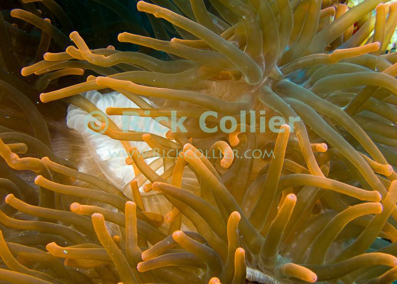 "Red Sea, Egypt -- An anemone. © Rick Collier / RickCollier.com.<br /> <br /> <br /> <br /> <br /> <br /> Egypt; ""Red Sea""; vacation; travel; destination; underwater; uw; ""u/w""; scuba; ""scuba dive""; ""scuba diving""; dive; diving; coral; reef; ""coral reef""; ""dive site""; Tiran; ""Tiran straits""; ""straits of Tiran""; ""Jackson Reef""; anemone"