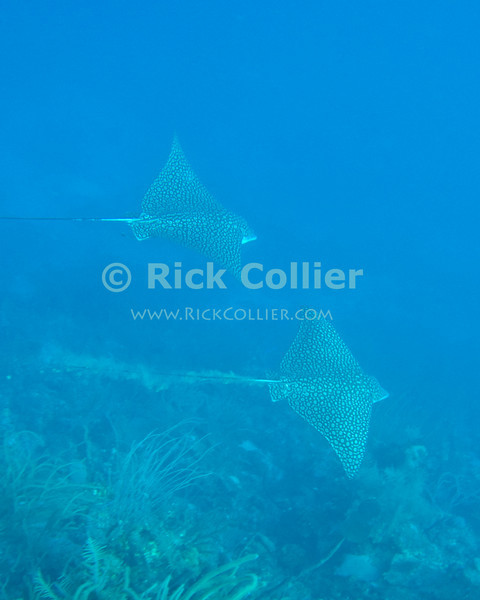"""A pair of spotted eagle rays cruise past the drop-off at the edge of a Caribbean reef.   Taken at while scuba diving the """"Chasbo's Corner"""" dive site at Turneffe Atoll, Belize.  © Rick Collier"""