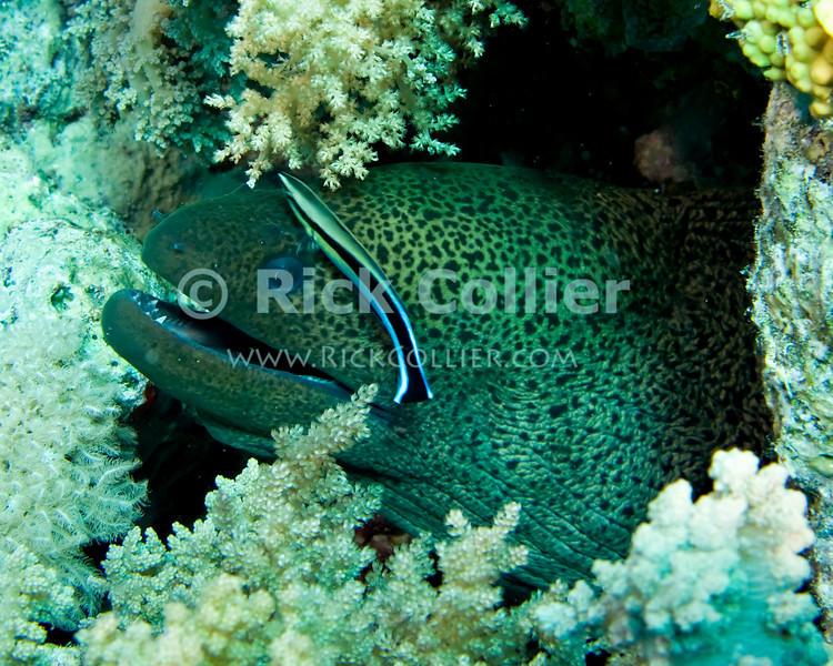 "Red Sea, Egypt -- A giant moray eel rests in the cleaning station while the resident common Red Sea cleaner wrasse plys its trade, eating parasites and small hitchikers off of the eel. © Rick Collier / RickCollier.com.<br /> <br /> <br /> <br /> <br /> <br /> <br /> <br /> <br /> Egypt; ""Red Sea""; vacation; travel; destination; underwater; uw; ""u/w""; scuba; ""scuba dive""; ""scuba diving""; dive; diving; coral; reef; ""coral reef""; ""dive site""; ""Ras Muhammad""; ""Ras Mohamed""; ""national park""; ""underwater park""; ""Ras Muhammad National Park""; ""nature reserve""; Yolanda; ""Yolanda reef""; eel; moray; ""moray eel""; ""giant moray eel""; fish; wrasse; cleaner; ""cleaner wrasse""; ""Red Sea cleaner wrasse""; ""cleaner fish""; ""cleaning station"""