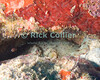 St. Eustatius (Statia) Underwater - A scuba diver can often find an octopus by looking for a mound of empty shells (the discards from the octopus' past meals) piled up around a rock overhang to make a cave.  This one hadn't quite finished filling all the gaps.  © Rick Collier