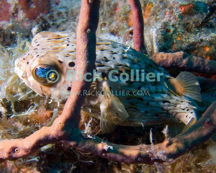 """A balloonfish (also known as the spiny puffer) stays close to the reef.  This extremely shy fish is remarkable for its unusual eyes, which in the right light can be come irridescent, reflecting colors from its surroundings.  St. Eustatius (Statia), Netherlands Antilles.<br /> <br /> <br /> <br /> <br /> """"St. Eustatius"""" """"Saint Eustatius"""" Statia Netherlands Antilles """"Lesser Antilles"""" Caribbean SCUBA dive diver sea bottom sea floor rocks coral hole reef sand bottom sea floor seafloor sea bed sponge spiny puffer balloonfish """"balloon fish"""""""