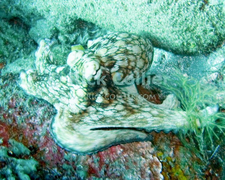 "Caribbean reef octopus.  St. Eustatius (Statia), Netherlands Antilles.<br /> <br /> <br /> <br /> <br /> ""St. Eustatius"" ""Saint Eustatius"" Statia Netherlands Antilles ""Lesser Antilles"" Caribbean underwater diving ocean SCUBA dive reef octopus"