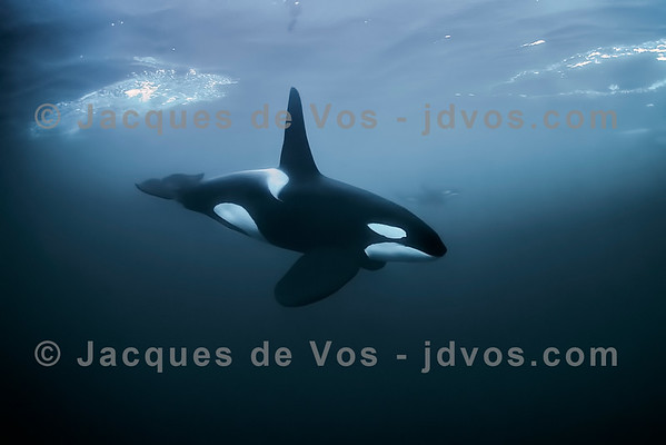 Orca Male - Northern Norway