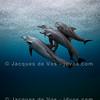 Bottlenose Dolphins In The Rain