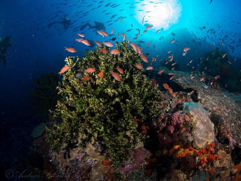 Black coral, Komodo 2013