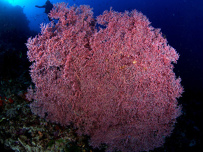 Sea Fan, Komodo 2013