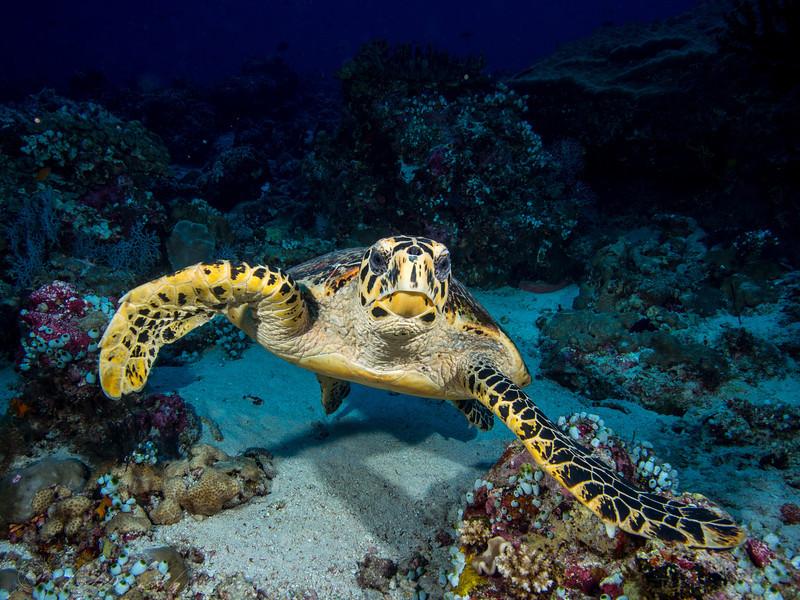 Turtle, Maldives 2014