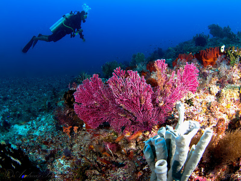 Corals and Diver, Komodo 2013