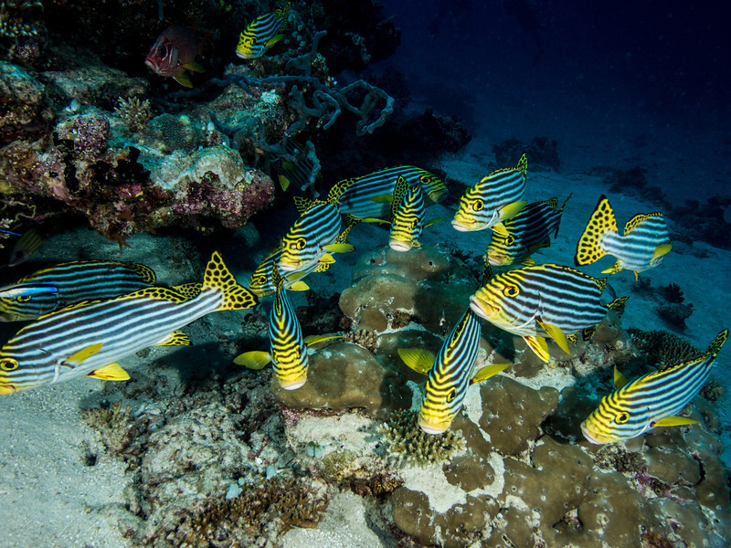 Sweetlips, Maldives 2014