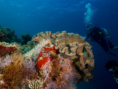 Leather coral, Maldives 2014