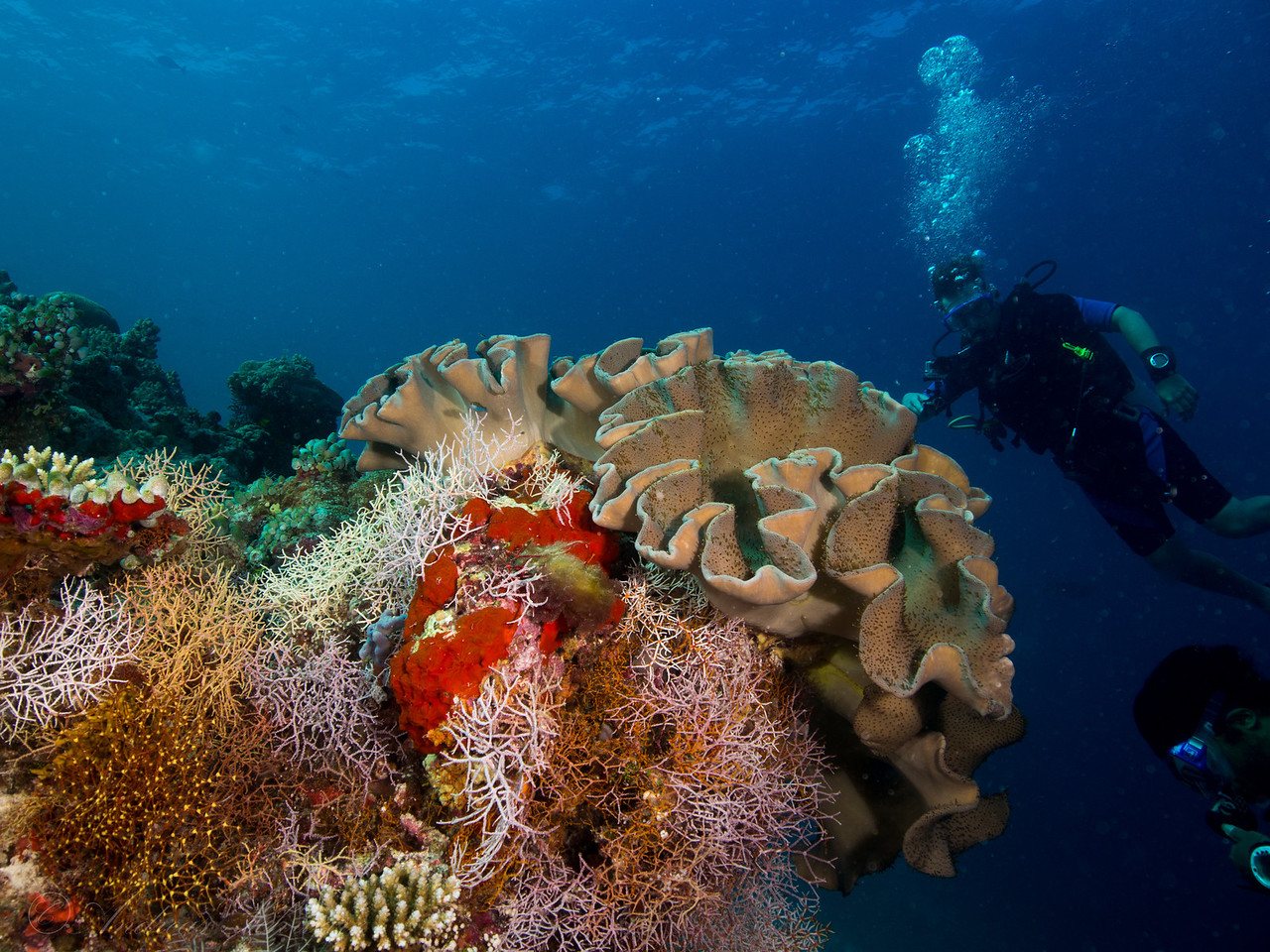 Leather coral, Maldives 2014