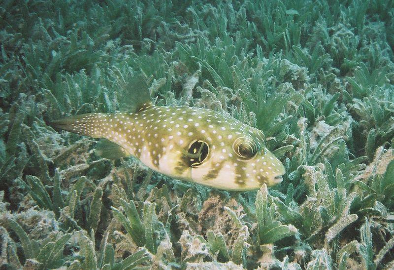 Whitespotted pufferfish.