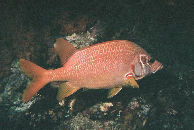 Giant squirrelfish.