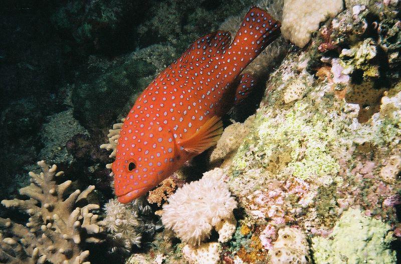 Coral trout.
