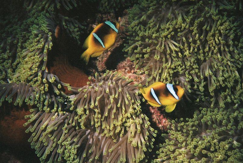 Anemonefish.