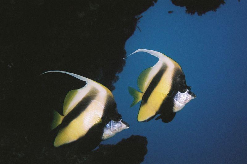 Red Sea bannerfish (twilight dive).