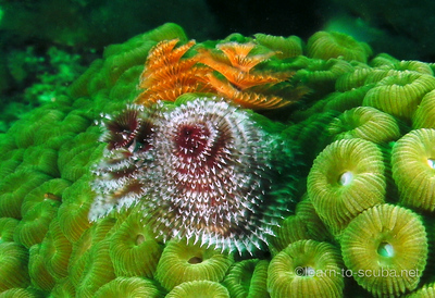 Christmas tree worms.