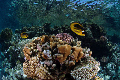 A shallow reef near Sharm el Sheikh, Egypt. Banded butterfly fish dance through the clear water.