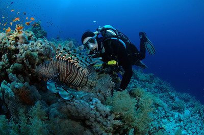 A curious scuba diver interacts with a grand lion fish on a colorful reef in Egypt.