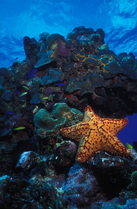 A colorful sea star decorates the shallow reef at Frank Sound on the East End of Grand Cayman Island, British West Indies.