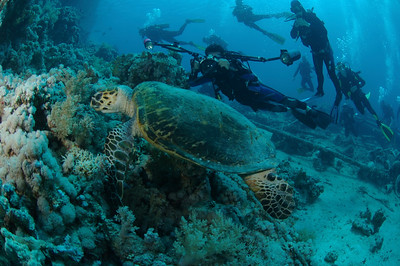 Underwater photographers get a rare glimpse of a feeding sea turtle, content to raze on underwater sponges on a coral reef.