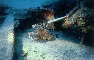 Lion fish on seaplane wreck, Ebeye, Kwajalein Atoll. April 10, 1980