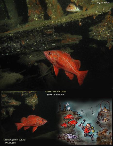 VERMILION ROCKFISH  (Sebastes miniatus ), Gedney (aka Hat) Island barges. May 26, 2012