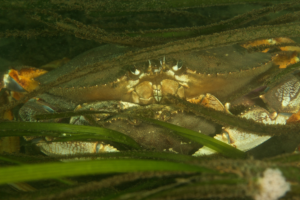 A Dungeness Crab couple wait in the eel grass for her to shed her shell.
