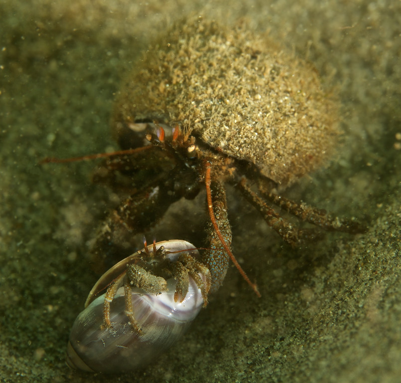 A large male Grainyhand hermit dragging a smaller female Grainyhand.  The smaller female is inside a Purple Olive Snail shell.  I followed these two for about 8 feet waiting for the sediment to clear up enough.  8 feet is quite a while at hermit crab speed.