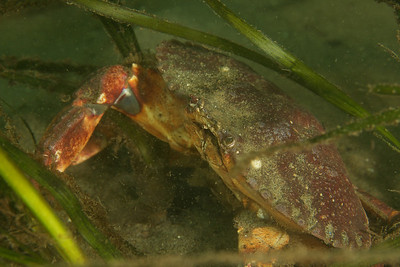 A Red Rock Crab in eel grass.
