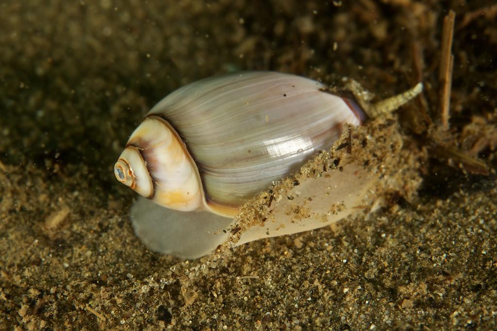 Purple Olive Snail
