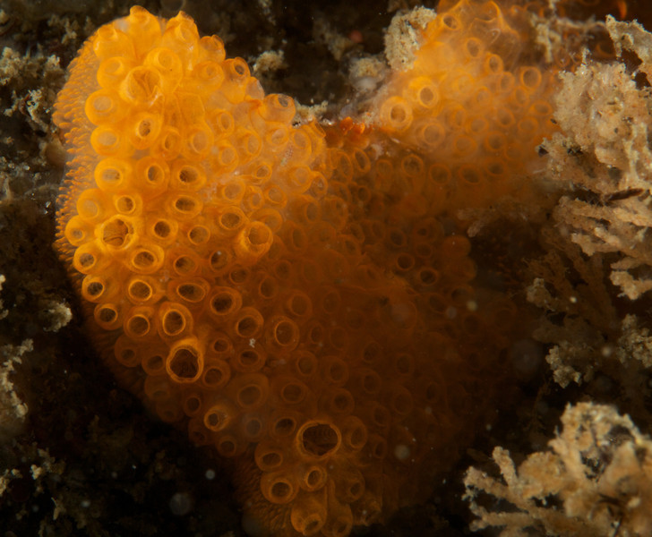 Colonial tunicate