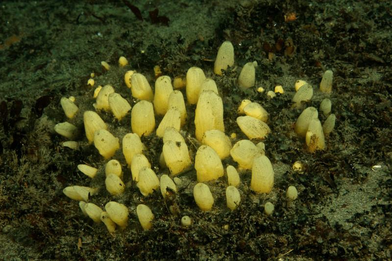Nipple Sponge