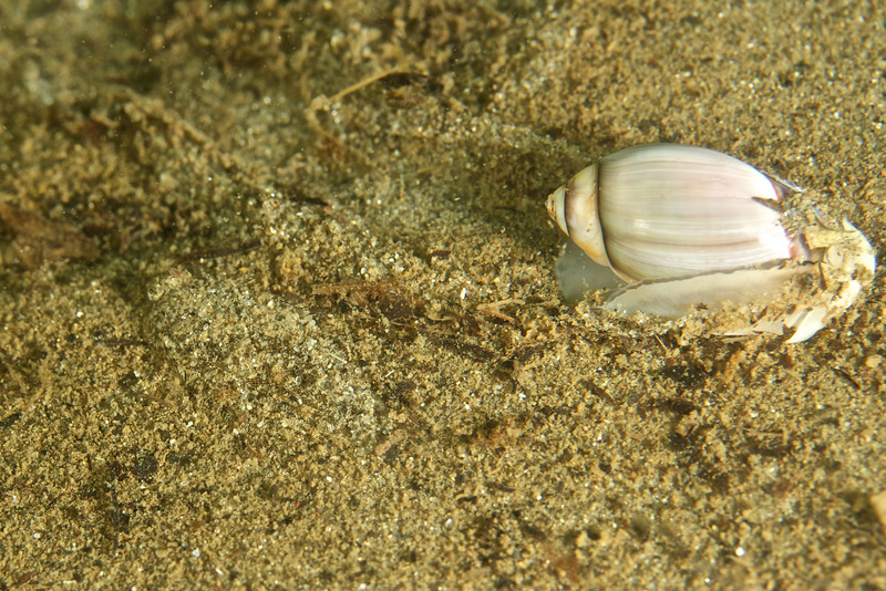 A Purple Olive Snail cruises right past a well-hidden Speckled Sanddab