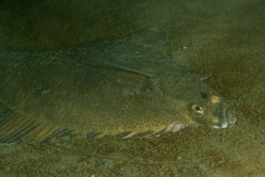 Starry Flounder hugs the ground in an eel grass bed.