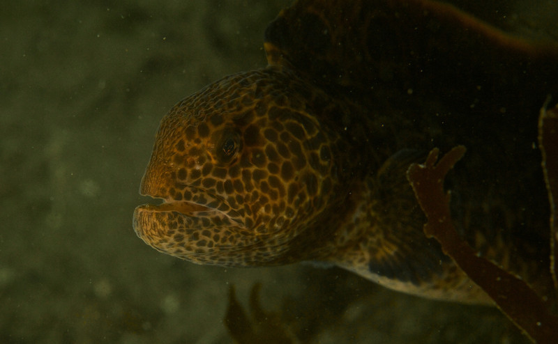 A young Wolf Eel