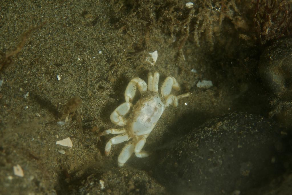 A male Gaper Pea Crab.  They live inside Gaper Clams.