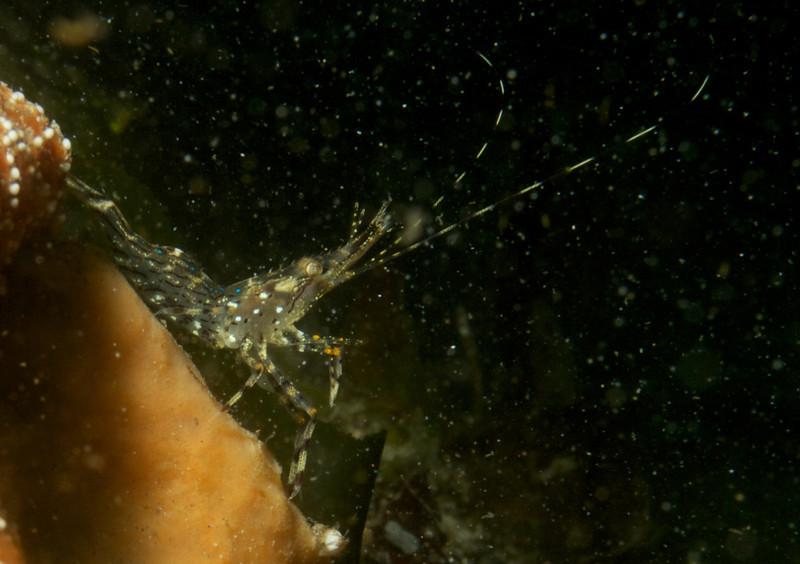 Coonstriped Shrimp standing on a sponge.