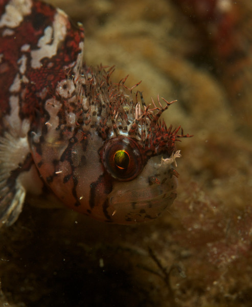 Mosshead Warbonnet, on east side of 3rd finger, 20ft depth on side of a jetty rock.