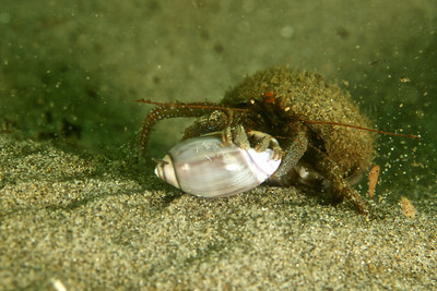 A large male Grainyhand hermit dragging a smaller female Grainyhand.  Mating?