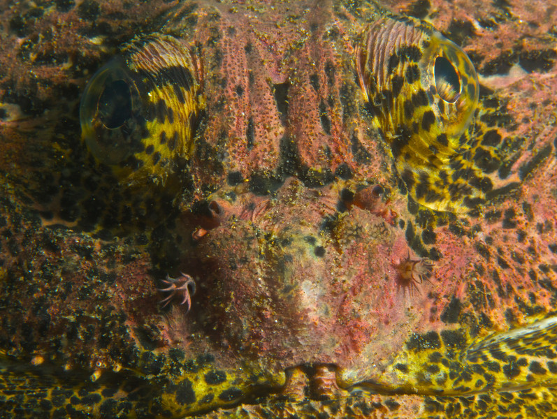 Buffalo Sculpin face