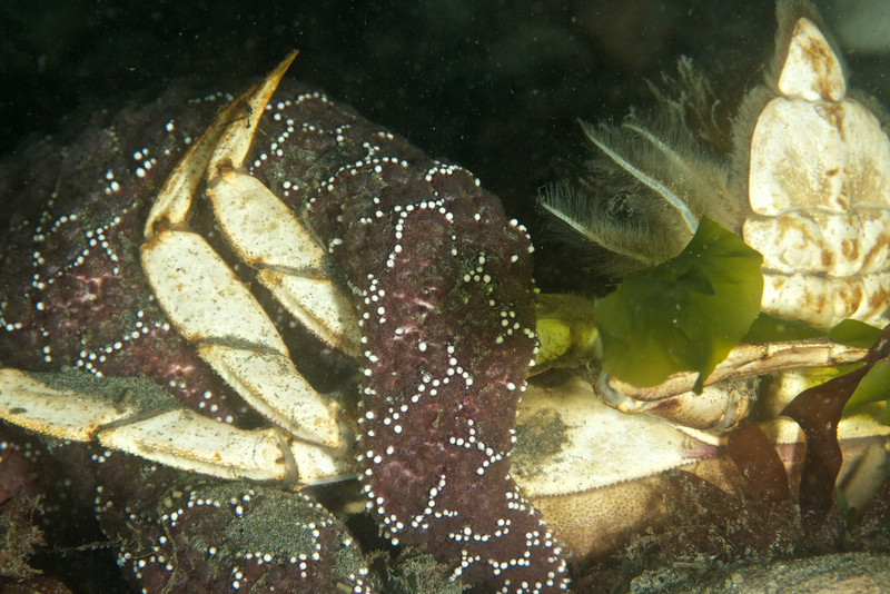 An Ocre Star dines on Dungeness Crab.