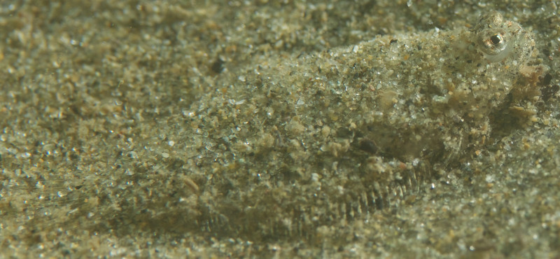 This sanddab shivered to cover itself with sand.  It wasn't easy finding it in the viewfinder through a mask and the underwater housing.